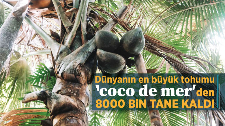 Dünyanın en büyük tohumu 'coco de mer'den 8000 bin tane kaldı